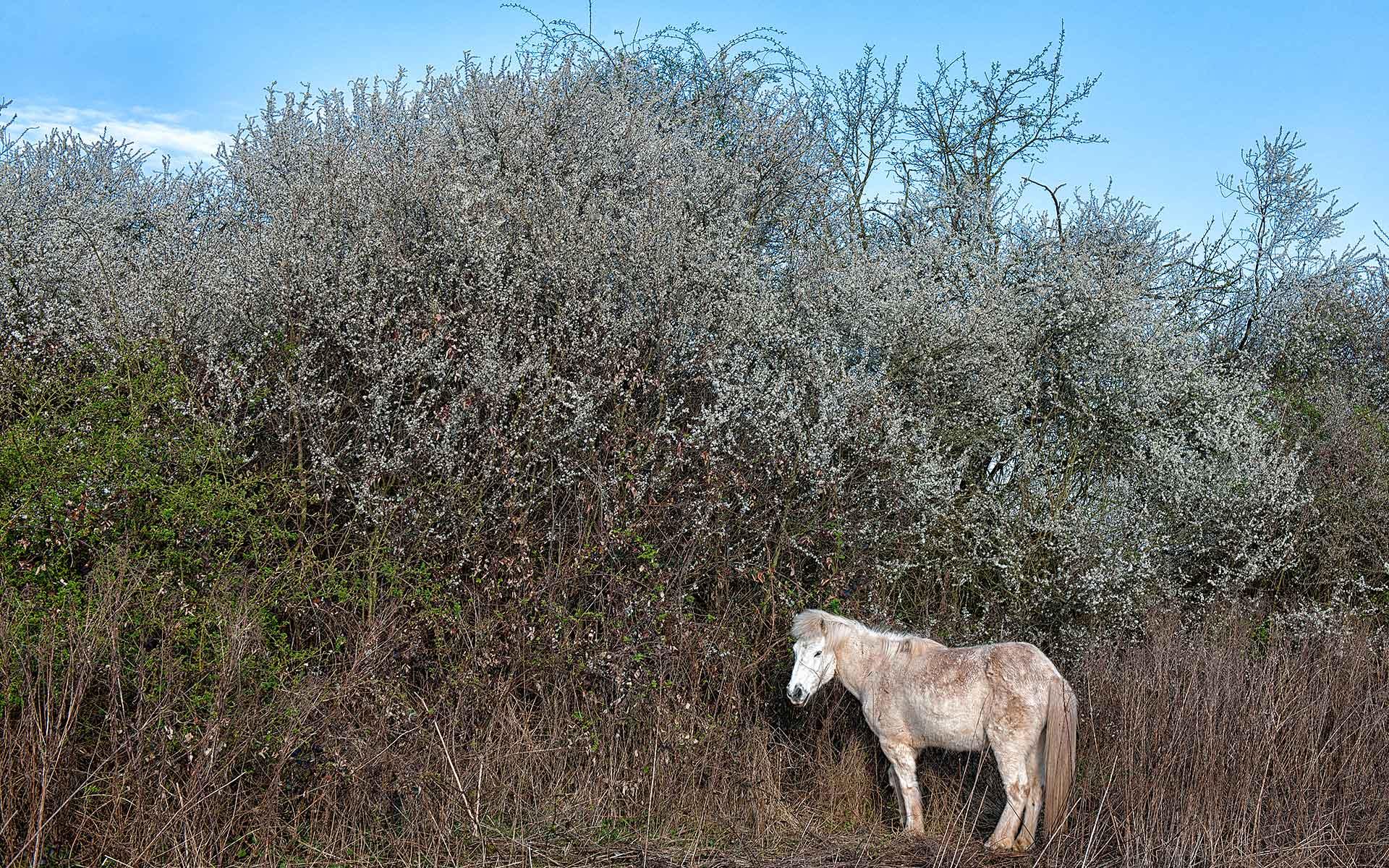 Weisses Pony